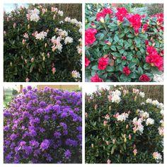 Rodhodendron er på sist fineste nå Plants, Flora, Plant, Planting