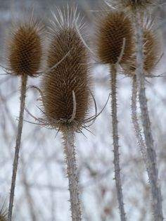 #teasel #Middletown #MD (photo lindacolsh)
