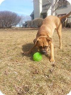 North Aurora, IL - Boxer. Meet Barley, a dog for adoption. http://www.adoptapet.com/pet/12575199-north-aurora-illinois-boxer