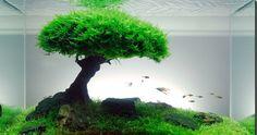 Bonsai garnalen-boom | Planten | shrimpsroyal
