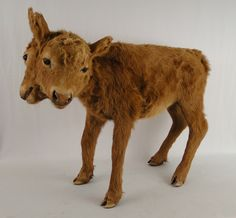 Authentic Estate Natural History Two Headed Calf Cow Taxidermy Mount Polycephaly Unusual Art, Unique Art, Anatomy Art, All Gods Creatures, Weird World, Taxidermy, Marine Life, Macabre, Natural History
