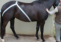 Kinesio Taping can be used by trained therapists to help benefit the horse's wellbeing