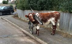 How did this happen? Was it always like this?Cow with its head stuck through a bicycle