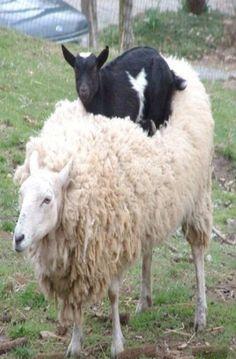 Goat On Sheep's Back