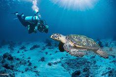 Foto de stock : Scuba diver with hawksbill turtle