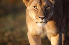 Elsa, the lioness, inspired wildlife conservation through Born Free.