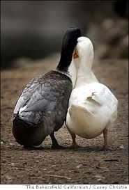two ducks in love - Google Search
