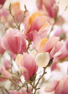 love it in February when the saucer magnolias start blooming �