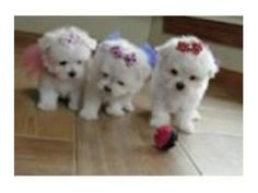 listing Adorable and lovely Maltese puppies for ... is published on Free Classifieds USA online Ads - http://free-classifieds-usa.com/for-sale/animals/adorable-and-lovely-maltese-puppies-for-rehoming_i30369