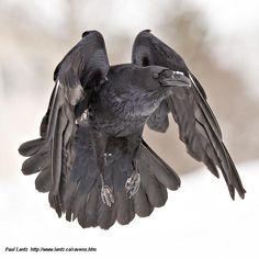 Raven in flight, by Paul Lantz