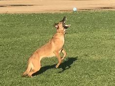 Will she catch it?of course! Belgian Malinois, Dogs, Animals, Animales, Malinois Dog, Animaux, Pet Dogs, Doggies, Animal