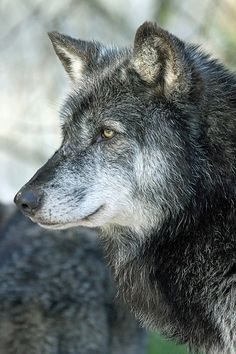 Timber Wolf - SAVE THE WOLVES