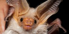 Bats eat a lot of shiny insects. This has some unexpected consequences.