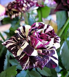 Black Dragon Rose....I've never seen anything like this...what a beauty! .