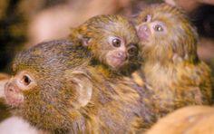 Pygmy Marmoset Monkey with twin baby's (DwergzijdeAapje) Pygmy Marmoset, Small Monkey, Aquarium, Twins, Baby, Goldfish Bowl, Aquarium Fish Tank, Baby Humor, Aquarius