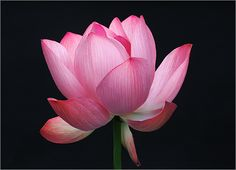 Pink Lotus by Bahman Farzad