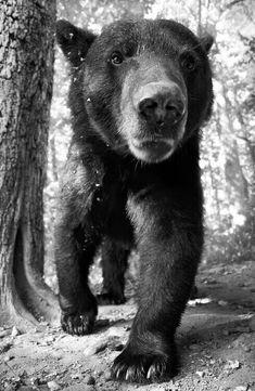 bear in your face Nature Animals, Animals And Pets, Cute Animals, Wild Animals, Love Bear, Big Bear, Reno Animal, Beautiful Creatures, Animals Beautiful