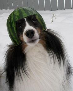 Funny pictures about Melon collie? Oh, and cool pics about Melon collie? Also, Melon collie? Haha Funny, Funny Cute, Funny Dogs, Funny Animals, Cute Animals, Funny Stuff, That's Hilarious, 9gag Funny, I Love To Laugh