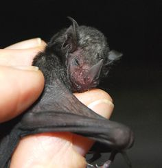 Lil' Drac, an orphaned short tailed fruit bat, cared for by Bat World Sanctuary! He is an angel! :)