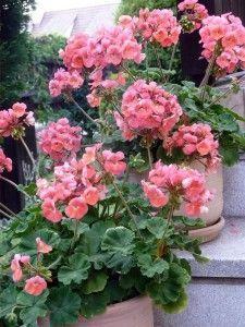 Prezimovanie muškátov v krabici :) - My site How To Make Terrariums, Plant Table, Newborn Poses, Geraniums, Indoor Plants, Tulips, Diy And Crafts, Backdrops, Floral Wreath