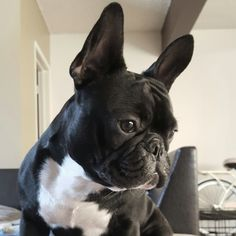 Ninja, the French Bulldog, Instagram @frenchie_ninja