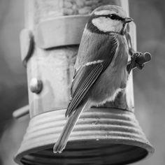 #canon7d #photography  #bird #birdfeeder #blackandwhite #bluetit