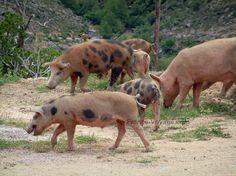 Cochons sauvages (en semi-liberté) sur un chemin en Corse