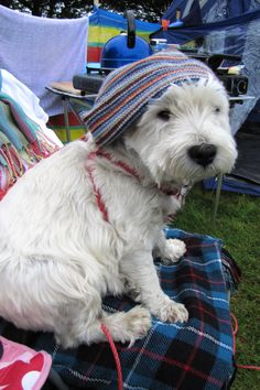 Camping westie! Stamford, aged 7