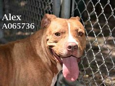 ALEX - ID#A065736 - URGENT - Manatee County Animal Services in Palmetto, Florida - ADOPT OR FOSTER - Neutered, 63lb., Male Pit Bull Terrier - at the shelter since September 8, 2016 - Alex is extremely calm and sweet.  He even sits for treats!