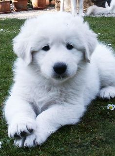 Maremmano-Abruzzese Mastiff Puppy   ...........click here to find out more     http://googydog.com