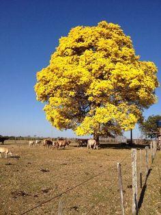 Esplêndido ipê amarelo carregado de flores dando sua sombra para o gado que pasta nas proximidades. Em Torixoréu, Mato Grosso, Brasil.  Fotografia: Heuller Silva Ribeiro.