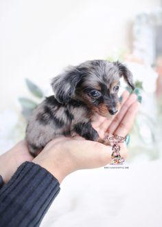 Dapple Dachshund Miniature, Dapple Dachshund Puppy, Dachshund Puppies For Sale, Baby Dachshund, Cute Dogs And Puppies, Baby Puppies, Cute Teacup Puppies, Dapple Dachshund Long Haired, Teacup Dachshund