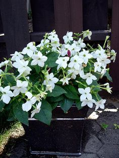 "Nicotina (flowering tobacco) can easily be grown from seed for $1.00. The white is great at night b/c you can see the flowers in the dark (all white flowers are great for such ""moon gardens"" actually). Many colors available."