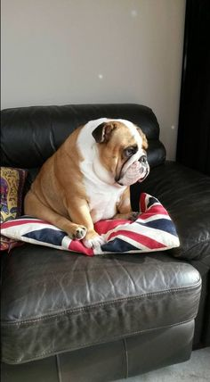 The major breeds of bulldogs are English bulldog, American bulldog, and French bulldog. The bulldog has a broad shoulder which matches with the head. Bulldog Breeds, English Bulldog Puppies, British Bulldog, English Bulldog Funny, Bulldog Pics, Cute Bulldogs, Baby Bulldogs, French Bulldogs, Blue English Bulldogs