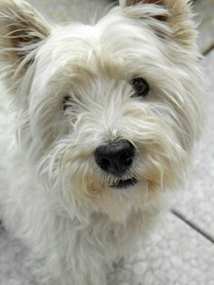 West Highland Terrier I think this will be my next dog