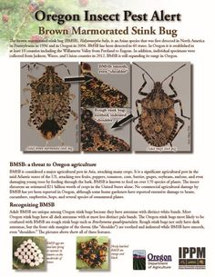 Brown marmorated stink bug, by the Oregon Department of Agriculture, Insect Pest Prevention & Management