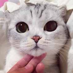 "culturenlifestyle: "" Scottish fold kitty called Hana from Japans has garnered over 250k followers on Instagram with her adorable big eyes. Keep reading """