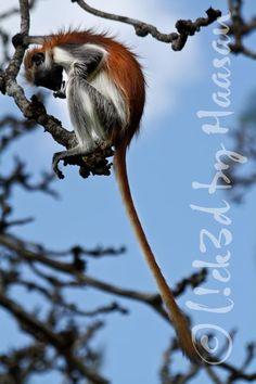 Red Colobus Monkeys - Zanzibar