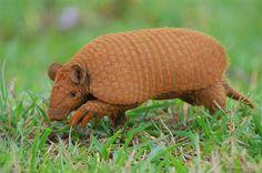 ARMADILLO    Tatú peba - Presente na fauna do sertão do nordeste do Brasil