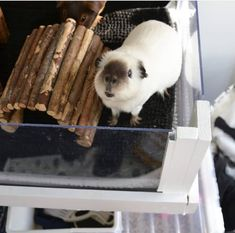 In the event you are looking for a super companion pet, a pug Guinea Pig House, Baby Guinea Pigs, Guinea Pig Care, Cute Baby Animals, Animals And Pets, Funny Animals, Guniea Pig, Cute Piggies, My Animal