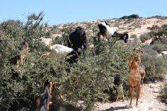 Argan Agadir, Goats, Animals, Fish Stand, Old Town, Holland, Morocco, Animais, Animales