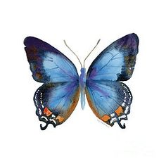 Watercolor Butterflies - Featured Images - 80 Imperial Blue Butterfly  by Amy Kirkpatrick