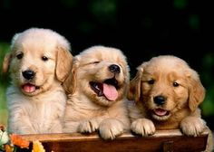 Golden retriever puppies! I really love the one in the middle.
