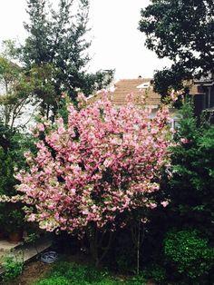 Cherry blossom Cherry Blossom, Spring, Plants, Beautiful, Planters, Cherry Blossoms, Plant, Planting