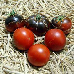 Blue Tomato OSU Blue ブルー・トマト・OSU・ブルー