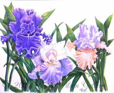 Three Irises Pen and Colored Pencil  by LauraWilsonGallery on Etsy, $850.00