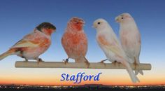 Image detail for -STAFFORD : a crested TYPE Canary with color