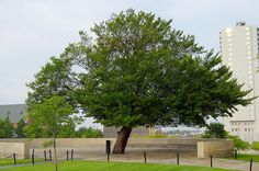 To be remembered. A miracle tree.