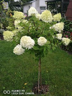 Yard Landscaping, Flora, Pergola, Landscape, Garden, Hydrangea Garden, Flowers, Polish Food Recipes, Alcohol