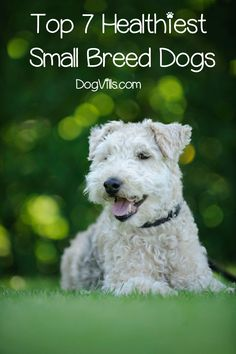 Are you curious to know about the healthiest small breed dogs? Read on to find out about the hardiest dogs with the fewest breed-wide health issues. Buy Puppies, Dogs And Puppies, Baby Dogs, Doggies, Small Dog Breeds, Small Dogs, Puppy Breeds, Healthiest Dog Breeds, Cutest Animals